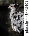 鳥類 蛇食鷲 動物の写真 43448401