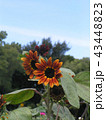 色々な花の咲く種類のヒマワリの赤色い花 43448823
