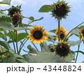 色々な花の咲く種類のヒマワリの黄色い花 43448824