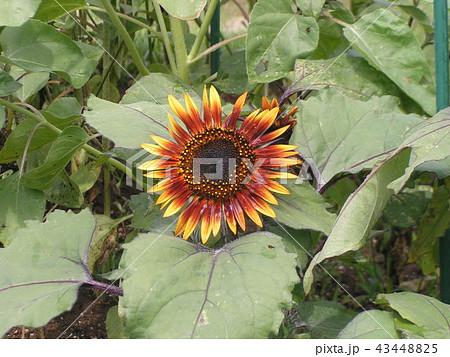 色々な花の咲く種類のヒマワリの赤色い花 43448825