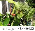 もう直ぐ花開くゲッカビジンの蕾 43449482