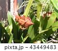 もう直ぐ花開くゲッカビジンの蕾 43449483