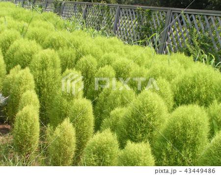 まだまだ緑色のコキアのこんもり樹形 43449486