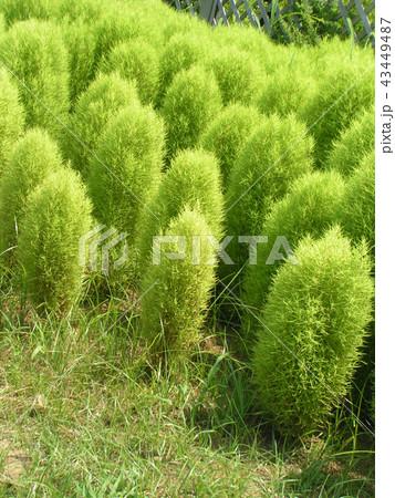 まだまだ緑色のコキアのこんもり樹形 43449487