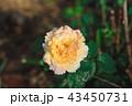 花 お花 フラワーの写真 43450731