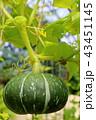 カボチャ 野菜 栽培の写真 43451145