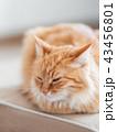 ねこ ネコ 猫の写真 43456801