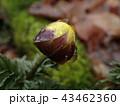 雨上がりの福寿草 43462360