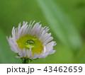 しずく (本物の雨上がりの水滴) 43462659