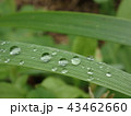 しずく (本物の雨上がりの水滴) 43462660