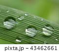 しずく (本物の雨上がりの水滴) 43462661