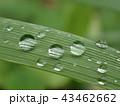 しずく (本物の雨上がりの水滴) 43462662