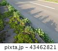 斜陽 苔が生えた歩道 43462821