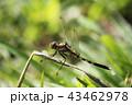 シオカラトンボ 昆虫 トンボ目の写真 43462978