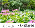 三室戸寺 紫陽花 花の写真 43463049