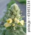 ビロードモウズイカの蕾と花 43463134