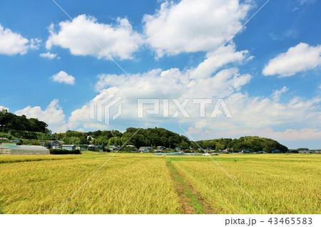 秋晴れの青空と田んぼ 43465583