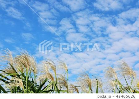 秋晴れの青空とススキの原 43465626