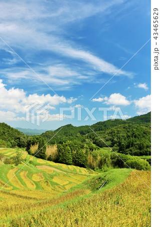 秋晴れの青空と広大な棚田風景 43465629