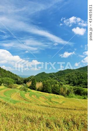 秋晴れの青空と広大な棚田風景 43465631