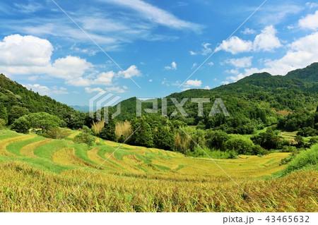 秋晴れの青空と広大な棚田風景 43465632
