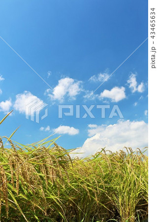 秋晴れの青空と田んぼの稲 43465634