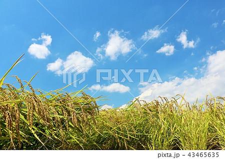 秋晴れの青空と田んぼの稲 43465635