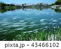 花筏 桜 春の写真 43466102