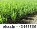 田 田んぼ 稲の写真 43466566