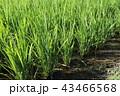 田 田んぼ 稲の写真 43466568