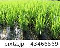 田 田んぼ 稲の写真 43466569
