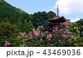 池改修工事後の夏の瑠璃光寺五重塔と百日紅 43469036