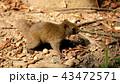 リス 動物 哺乳類の写真 43472571