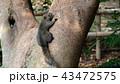 リス 動物 哺乳類の写真 43472575