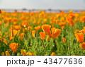 カリフォルニアポピー ポピー 花畑の写真 43477636