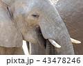 ぞう ゾウ 象の写真 43478246