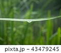 Dewdrops hanging on green grass blade, close up 43479245