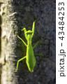 カマキリ 昆虫 一匹の写真 43484253