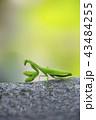 カマキリ 昆虫 一匹の写真 43484255