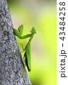 カマキリ 昆虫 一匹の写真 43484258