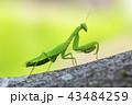 カマキリ 43484259