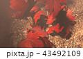 紅葉背景 43492109
