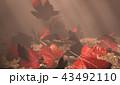 紅葉背景 43492110