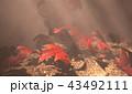 紅葉背景 43492111