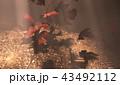 紅葉背景 43492112