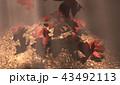 紅葉背景 43492113