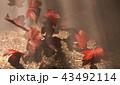 紅葉背景 43492114
