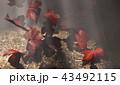 紅葉背景 43492115
