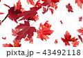 紅葉背景 43492118