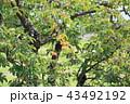 柿の実 43492192
